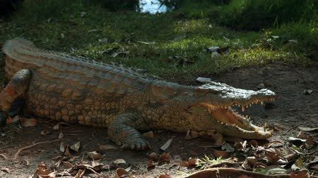 Мадагаскар : Mahajanga, Madagascar - CIRCA 2013 - View of an alligator lying in the shade wide its mouth open showing its teeth.