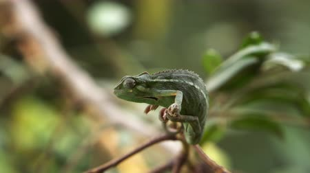 desistir : Side shot of rocking chameleon as it releases its front legs from its branch. Filmed in Kenya, Africa.