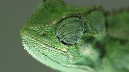 zmiany : Close up of a chameleons profile, including its roving eye. Filmed in Kenya, Africa.