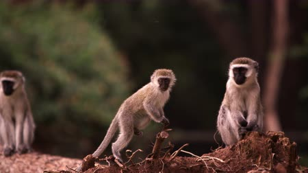 kürk : Four vervet monkeys on a fallen tree trunk. Filmed in Kenya, Africa. Stok Video