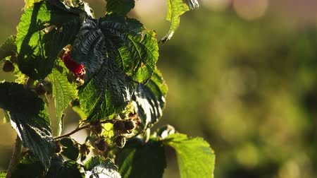 gałązki : Close up of green and ripe raspberries on a bush surrounded and covered by leaves.