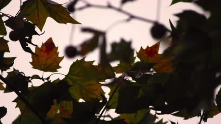 refocus : A stationary close-up of maple leaves on a tree. The focus changes constantly between the foreground and background. Filmed in Saint James Park, London on October 8, 2011. Stock Footage