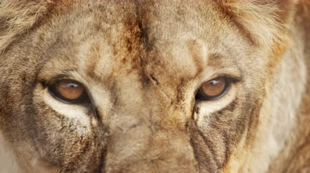 ona : Extreme close up of female lion head and eyes. She turns her head. Filmed in Kenya, Africa.