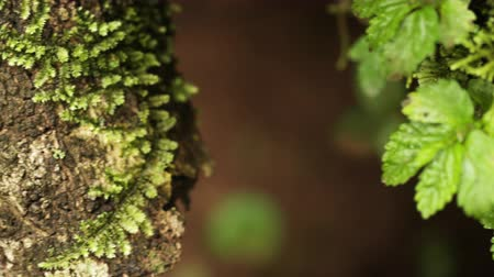 soft : Close-up racking focus pan of moss-covered tree trunk and branch. Filmed in Kenya, Africa.