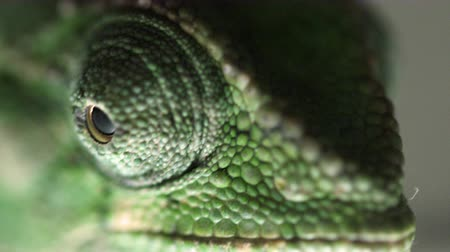 zmiany : Extreme close up of a chameleons eyes moving independently of each other. Wideo