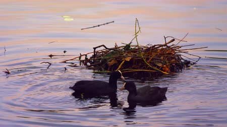 hnízdo : A stationary shot of three black coots swimming in water near their nest and looking for food. One leaves the scene, and two are left. Occasionally, one of them plunges into water to search food. Filmed at sunset in a park in London on October 8, 2011.