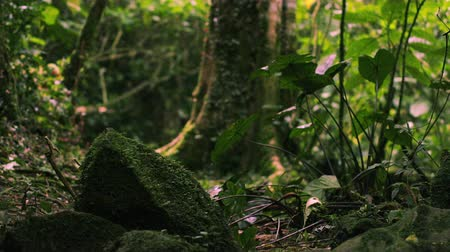 klidný : Footage tilting down a group of moss-covered rocks on a forest floor in Kenya. Dostupné videozáznamy