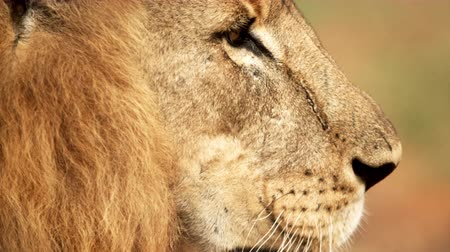 majestátní : Close up of male lion profile. It turns to show its other profile. Filmed in Kenya, Africa.
