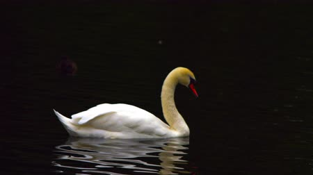 bezmotorové létání : A beautfiul shot of a white swan gliding over a lake in Saint James Park, London. The bird enters from the left and exits to the right. A duck is also in the background. Filmed on October 8, 2011. Dostupné videozáznamy