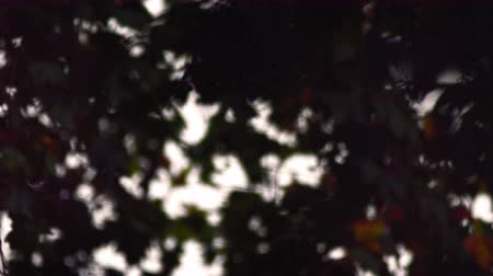 refocus : A stationary close-up of maple tree leaves in Saint James Park, London. The camera changes its focus, blurring out and then refocusing on the foliage. Filmed on October 8, 2011.