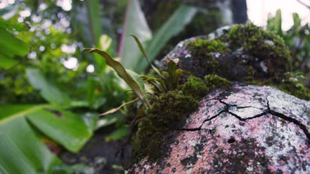 kapradina : Tracking footage of moss-covered rocks and forest floor. Filmed in Kenya, Africa.