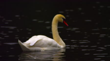 bezmotorové létání : A stationary shot of a lonely white swan swimming from left to right in a lake in Saint James Park, London. There are some ripples and reflections on the surface of the water. Filmed on October 8, 2011. Dostupné videozáznamy