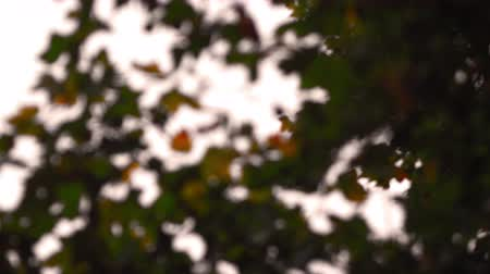 refocus : A stationary close-up of maple leaves on a tree with the focus constantly changing. Filmed in Saint James Park, London on October 8, 2011.