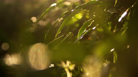 klidný : Close up of sun-outlined leaves, with unfocused plants in the foreground. Filmed in a forest in Kenya, Africa.