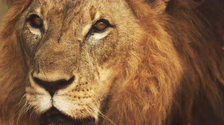 large ears : Close up of male lions face. Filmed in Kenya, Africa. Stock Footage