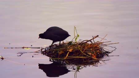 hnízdo : A stationary shot of a coot first standing in its nest on water and then leaving to the left, swimming. Filmed at sunset in a park in London on October 8, 2011.