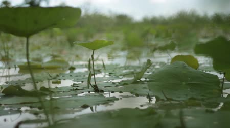 tajlandia : Close up with dolly at water level of lily pond in Southeast Asia; focus on lily pads at center of frame with other DOF passing