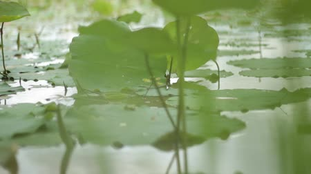 toad : Close up dolly across grass in foreground with lily pads in pond in Southeast Asian countryside