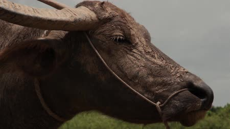 southeast : Close up Asian waterbuffalo in profile with dry mud on snout, turns to look at camera Stock Footage