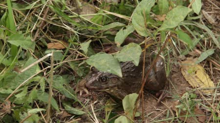 toad : Close up tilt down to large bullfrog hiding in grass and leaves Stock Footage