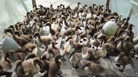 waggle : Wide shot of young ducks in a pen on a farm in Southeast Asia; farmed ducks like these are an important source of protein and food security.