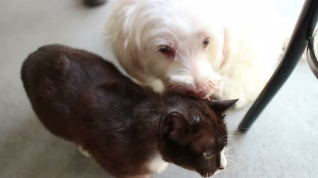 cachorro : High angle view of a white dog kissing and licking its black cat loverbest friend; cat finally has enough and hope away, escaping onto chair. One of a series of funny and cute animal shots by StockFootageWorld. Stock Footage