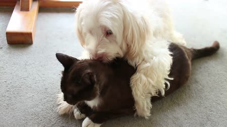 humor : Medium frontal angle of white dog pinning down, straddling, and kissing and licking its black cat loverbest friend; one of a series of funny and cute animal shots by StockFootageWorld. Stock mozgókép