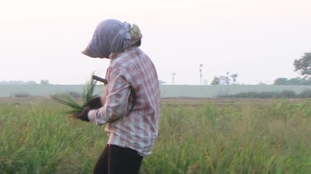 A female worker in Southeast Asia takes blades of cut rice to fashion a natural binder to tie a bundle of newly cut rice. She then twists and turns it around the bundle, before setting it aside in preparation for drying, threshing, and separation. Althoug Stock Footage