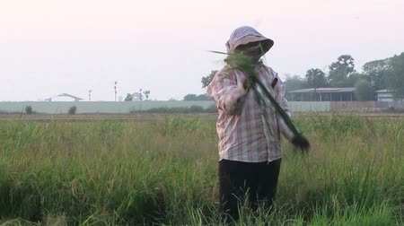 Medium shot of standing female rice worker cutting and cleaning rice stalks before bundling them. Despite development in ASEAN, much agricultural work is done by hand. Stock Footage