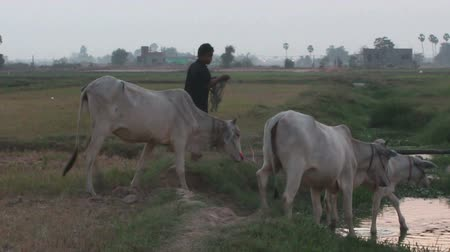 Medium shot of Asian cows walking towards and crossing a small stream near a field at dusk in Southeast Asia. Stock Footage
