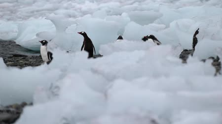 antártica : A flock of penguins walks along the stone shore near the ocean. Andreev.