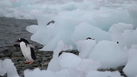 antártica : The penguin walks to the water on pebbles. Andreev. Stock Footage