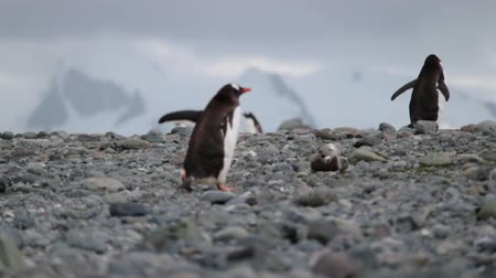 antártica : Two penguins climb up the pebbles. Andreev.