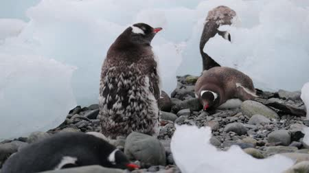 antártica : A group of penguins rest on pebbles in Antarctica. Andreev.
