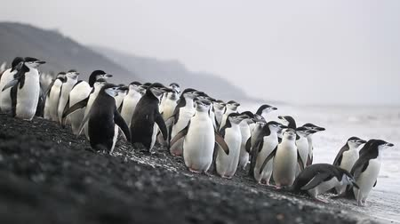 antártica : A flock of Antarctic penguins stands on the shore near the water. Andreev.