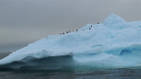 arctic bird : A flock of penguins on a floating glacier. Andreev.