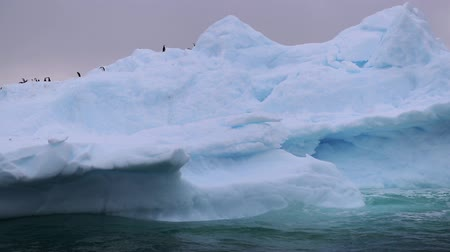 arctic bird : A glacier with penguins swims along the waves in Antarctica. Andreev.