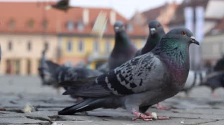 rock dove : Pigeons on cobblestone hurry to eat bread crumbs from turists.