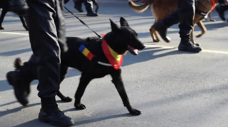 canino : Police with different breeds of dogs marching. A police dog, often referred to as a K-9 which is a homophone of canine in some areas, is a dog that is trained specifically to assist police and other law-enforcement personnel in their work. The most comm