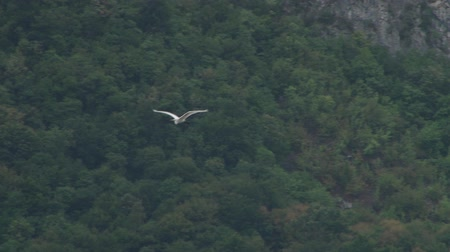 gołąbki : A white sea bird tracking in its smoothly flight over wilderness.