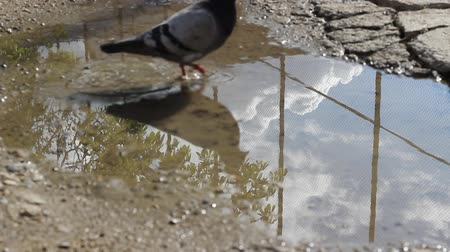 parke taşı : Clouds, sky and trees reflect in a sunny afternoon on a rain puddle right after a rainfall. A pigeon crosses through water.