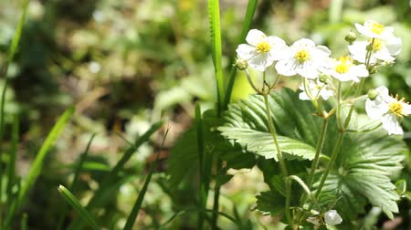 blooms : Strawberry plant in bloom. The garden strawberry  is a widely grown hybrid species of the genus Fragaria collectively known as the strawberries. It is cultivated worldwide for its fruit. Stock Footage