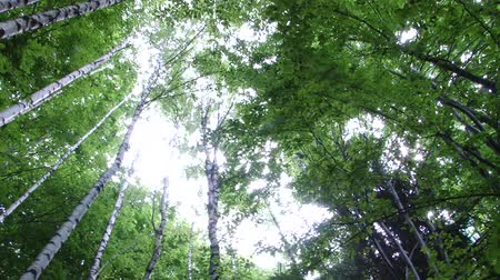 ângulo : View from bottom of some high birch trees in forest, in summer. The forest sounds ambience included. Birch species are generally small to medium-sized trees or shrubs, mostly of temperate climates. The simple leaves are alternate, singly or doubly serrate