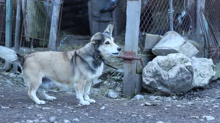 small group of animals : A small playful dog barking near the fowls barn, in a traditional livestock farm. Stock Footage