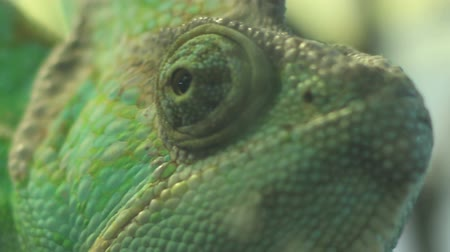chamaeleo : Close up shot with eyes of a green chameleon, moving independently one each other.
