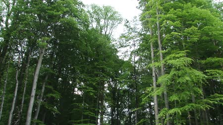 deep forest : The way to deep and dark old fairy forest with tall whispering trees. Stock Footage