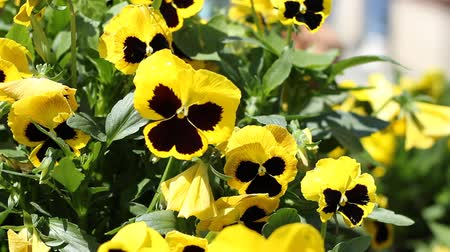 palce : Yellow beautiful pansy shot. The pansy is a group of large-flowered hybrid plants cultivated as garden flowers. The plant may grow to nine inches in height, and prefers sun to varying degrees and well-draining soils