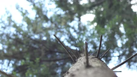 climate : Shifting focus vertically on a conifer trunk.