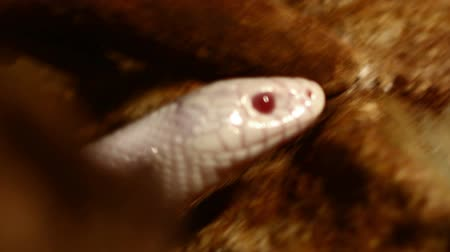 nonvenomous : Red eyed albino snake out of its den.