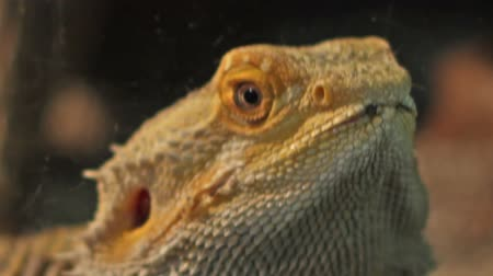 sürüngen : Close up shot with the bearded dragon reptile.